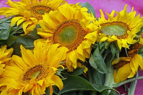 Ferienwohnung-Nordsee-Sonnnenblumen